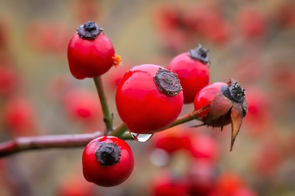 Rosehip berries on the twig, natural autumn seasonal background